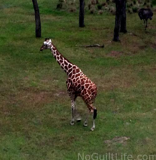 Giraffe Animal Kingdom Lodge