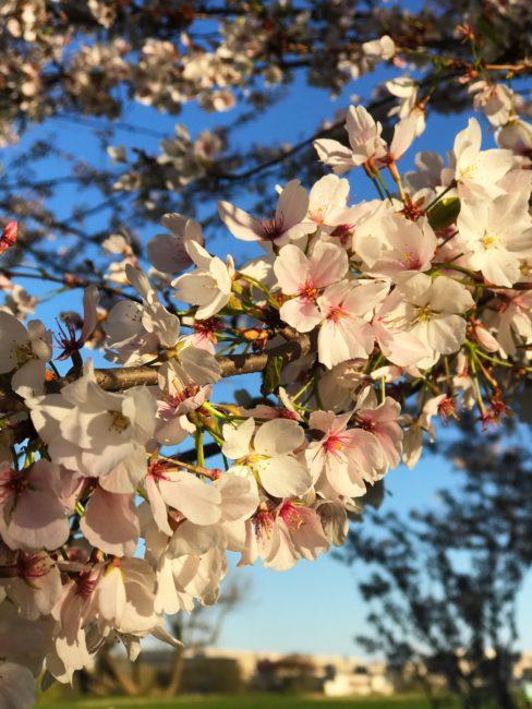 Cherry Blossom 5K